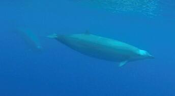 Første undervannsvideo av sjelden hval