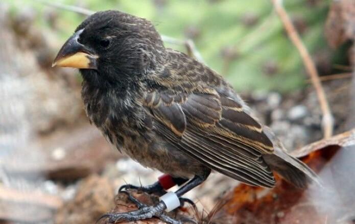 Et eksemplar av det som kanskje blir en egen art, med arbeidstittel <i>big bird</i>. (Foto: Peter Grant)