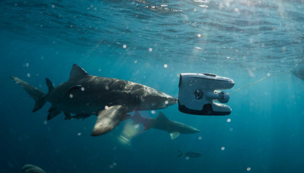 Bruk av undervannsdrone i varme farvann. (Foto: Hege Røkenes, Blueye Robotics)