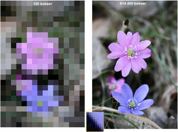 Digitale bilder består av bokser. Dersom det tar ett sekund å regne ut fargen i en boks, vil bildet til venstre ta litt over to minutter, mens bildet til høyre vil ta over en uke. Innen den tid har blomsten visnet. (Foto: Karina Hjelmervik)