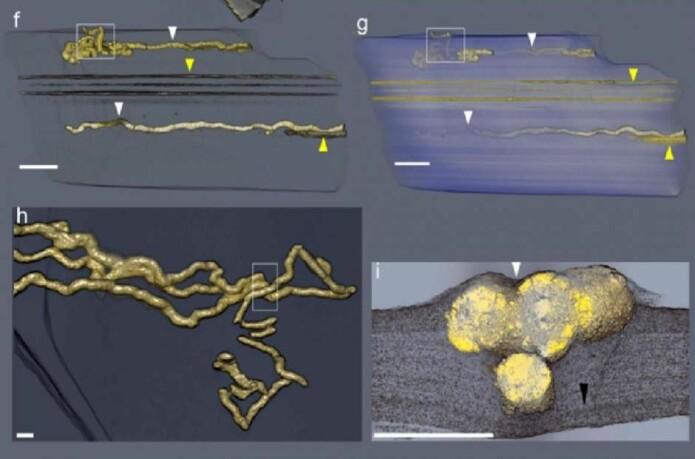 Gjennom en metode som kalles røntgen-mikrotomografi har forskerne laget 3D-modeller av gangene som de tidlige organismene har laget. (f) og (g): størrelsen på gangene sett utenfra. (h): ganger på langs av hverandre. Boksen i h viser hvor tverrsnittsbildet (i) er tatt fra. (Illustrasjoner: Albani et al., 2019)