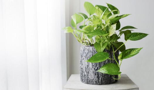 Genmodifisert potteplante renser innelufta for skadelige stoffer