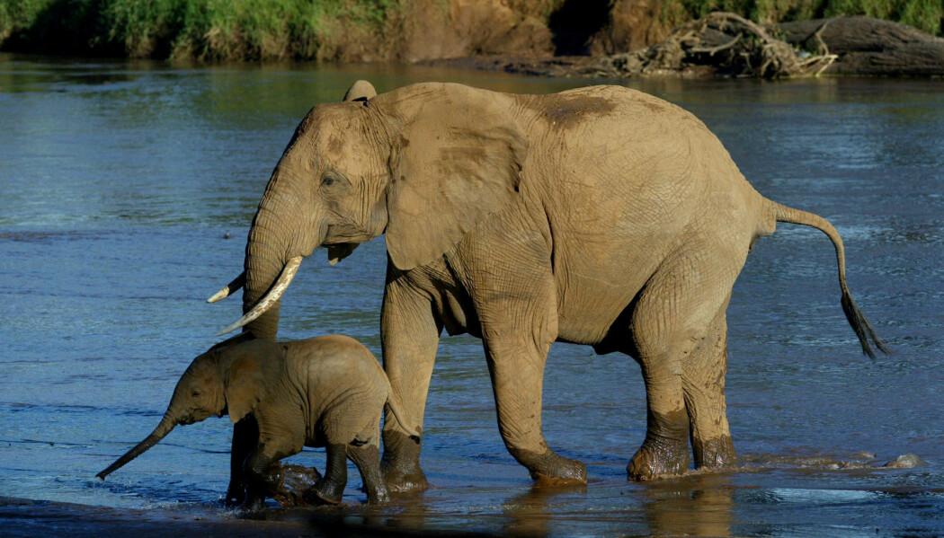 Den afrikanske elefanten er sårbar blant annet fordi den blir jaktet på. Krypskyttere dreper den for å bruke støttennene til produkter av elfenben. (Foto: Karel Prinsloo/AP/NTB scanpix)