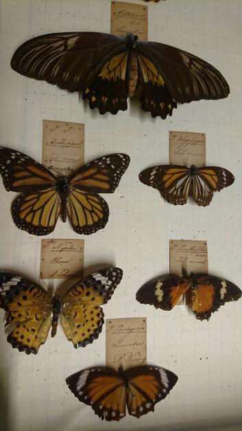 På de falmede lappene ved sommerfuglene kan vi skimte Daldorffs signatur. (Foto: Marianne Nordahl)