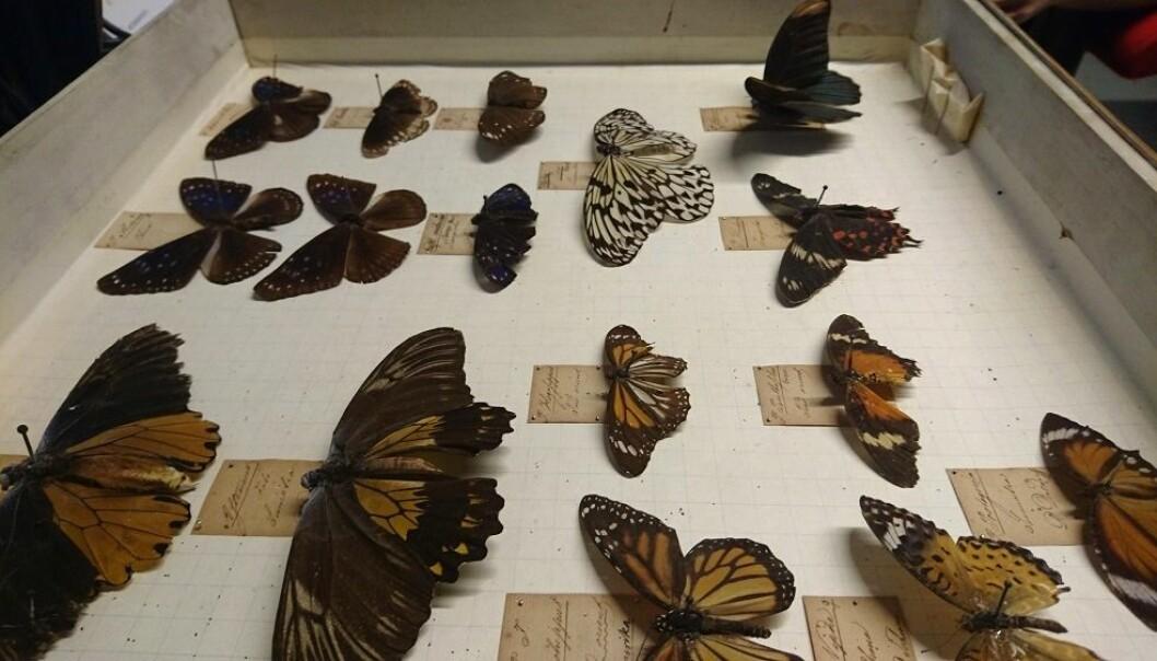 De har fremdeles noe livaktig over seg, men disse sommerfuglene har stått dødsens stille i over 200 år. De er en del av insektsamlingen som ble starten på insektforskningen i Norge. (Foto: Marianne Nordahl)