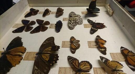 Forskerens favoritt: Disse sommerfuglene er over 200 år gamle