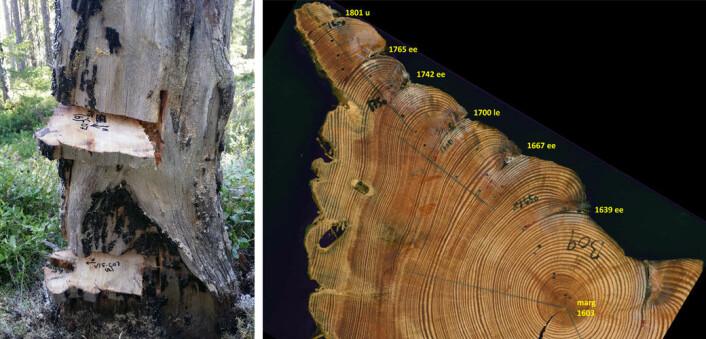 En trestubbes årringer forteller ikke bare hvor gammelt treet var da det ble felt, brannsårene i årringene kan også fortelle om hvilke år, og når på året, skogen brant. Bildet viser en stammeskive fra furu med seks brannlyrer. Sesongdateringer er «early earlywood» (ee), «middle earlywood» (me), «late earlywood» (le), «latewood» (lw), og ubestemt (u). (Foto: Ken Olaf Storaunet, NIBIO)