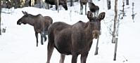 Flått-virus: Overvåkning av hjortedyr kan gi bedre smittevarsling