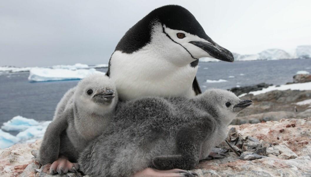 Det knyttes mange ubesvarte spørsmål til dyrelivet og økosystemer i Antarktis, og spesielt til livet i havet. Her er en ringpingvinfamilie som nylig ble observert på Kopaitic Island i Vest-Antarktis. (Foto: Audun Narvestad, Norsk Polarinstitutt)