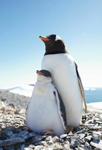 Bøylepingviner er de raskeste av alle pingviner, både til lands og til vanns, men likefullt er leopardsel en fryktet fiende i havet. (Foto: Audun Narvestad, Norsk Polarinstitutt)