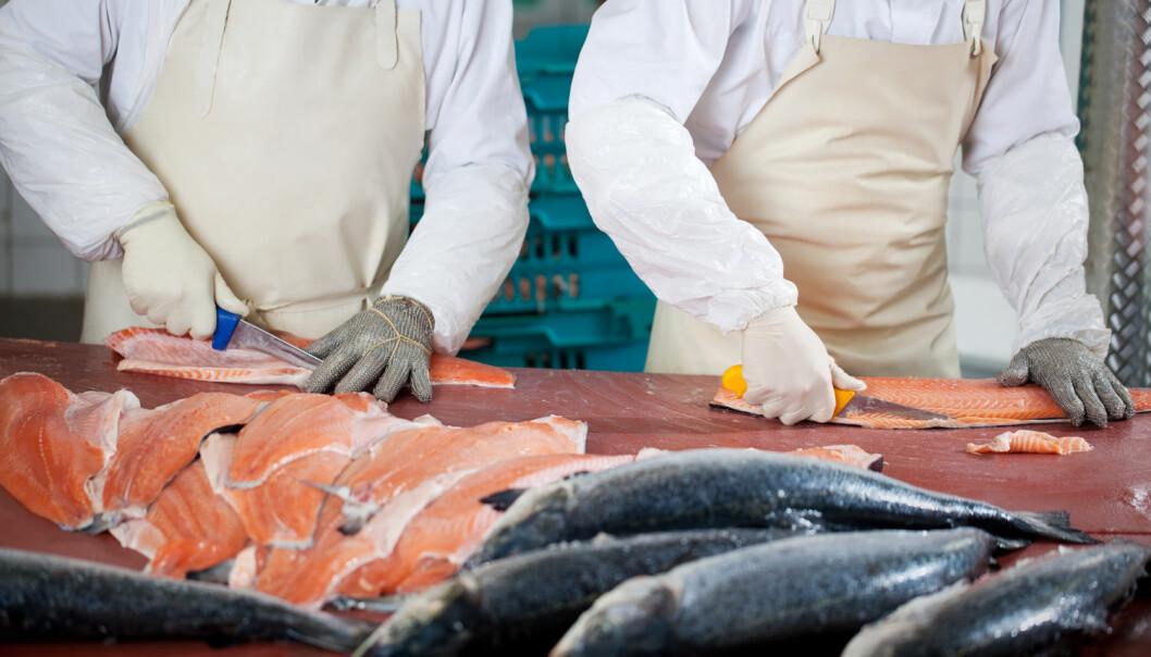 Kina-sjokket: Filetering og pakking av fisk er blant jobbene som har blitt hardt rammet av Kina-importen. (Foto: Shutterstock / NTB scanpix)