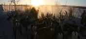 Forskere tilbakeviser at reindrifta i Sverige er truet