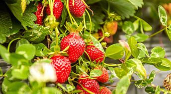Sopp blei sikringsvakt for jordbæra