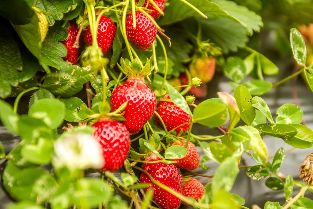 Forskarane dyppa jordbærplantenes røter i ei løysing med nyttesopp. Soppen lever inne i planten og fungerer nærmast som ei sikringsvakt. (Illustrasjonsfoto: Elena Yakusheva / Shutterstock / NTB scanpix)