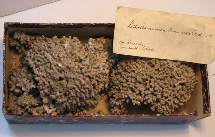 Rødalger fra Botaniske Museum under Statens Naturhistoriske Museum har gjort det mulig for ph.d.-student Helle Jørgensbye å kartlegge forekomsten av rødalger på Grønland. (Foto: Helle Jørgensbye)