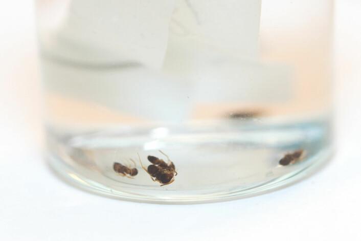 De eneste kjente eksemplarene av Lasius alienus i Norge er bevart på sprit for seinere analyser. (Foto: Erling Fløistad)