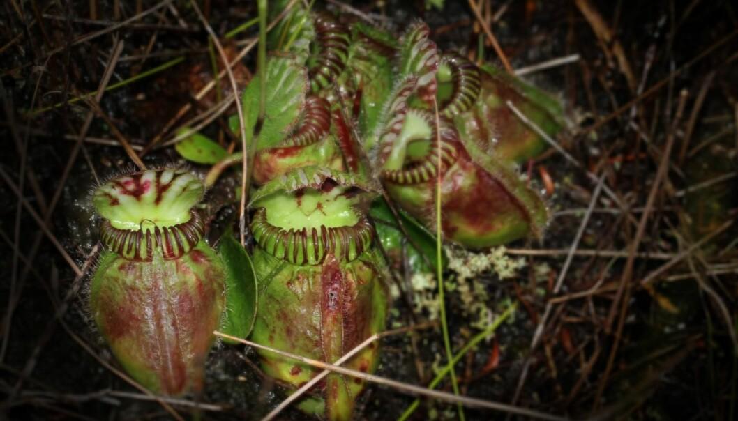 Den kjøttetende planten Cephalotus follicularis vokser helt vest i Australia.  (Foto: Mitsuyasu Hasebe)