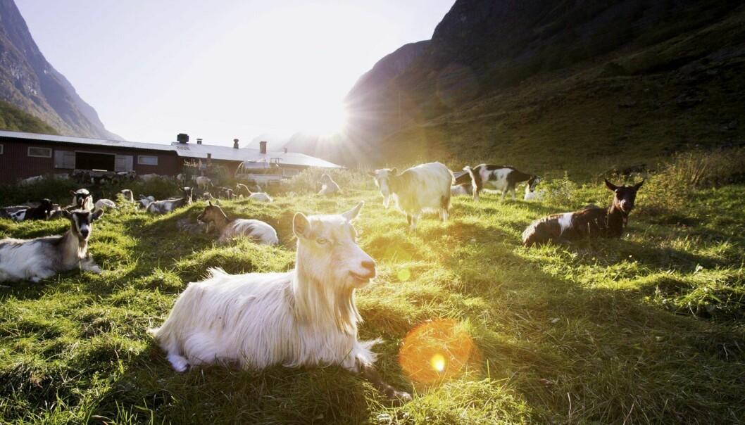 Disse geitene kan føre til produksjon av nye legemidler.  (Foto: Paul Sigve Amundsen / Samfoto / NTB scanpix)