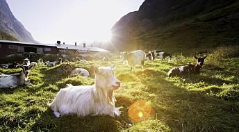 Kronikk: Den vitenskapelige verdien av disse norske geitene er vanskelig å overdrive