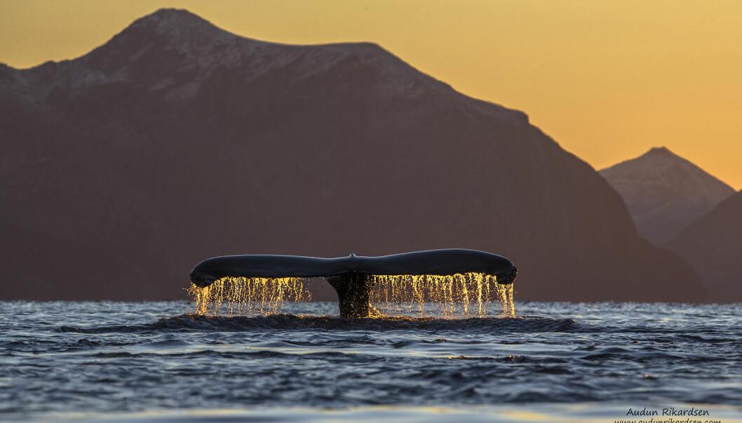 Over 900 knølkvaler har blitt registrert utenfor kysten av Troms siden 2011. I de siste to årene har forskere også merket spekkhuggere og knølkvaler med satellittsendere for å overvåke vandringen deres.  (Foto: Audun Rikardsen)
