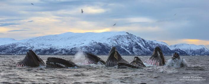 Knølkvalene fungerer nesten som forskningsassistenter, fordi de til enhver tid forteller forskerne hvor mye av silda oppholder seg. (Foto: Audun Rikardsen)