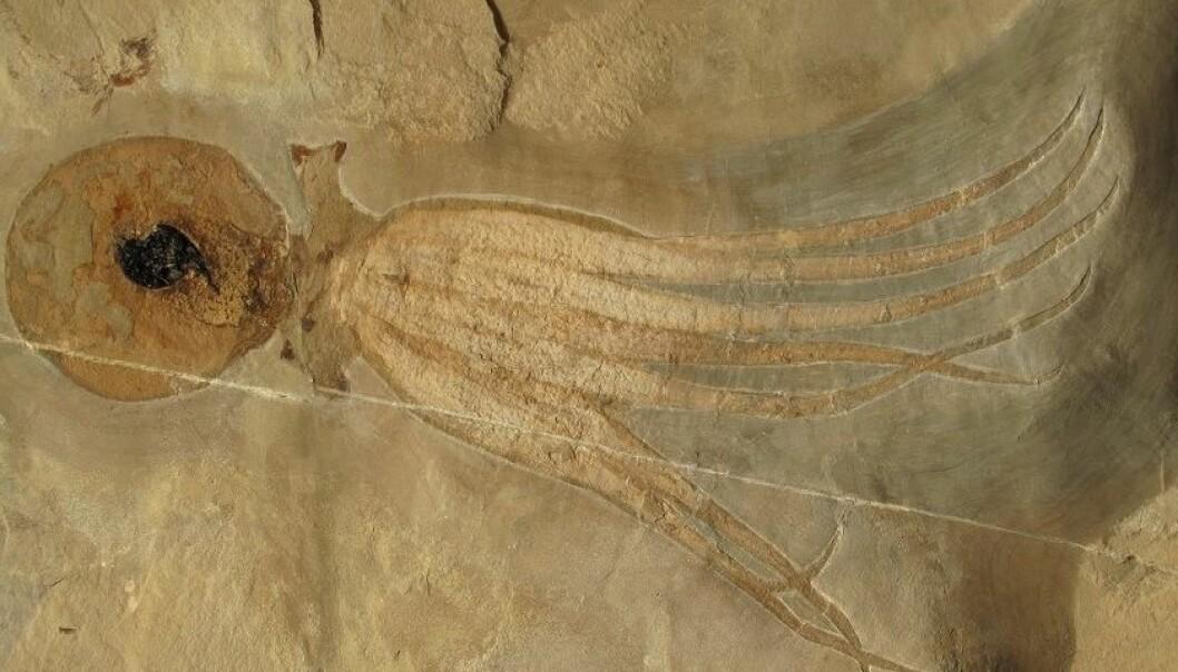 Denne åttearmede blekkspruten levde i fjæra for 95 millioner år siden. Den er så godt bevart at du kan tydelig se blekkposen. (foto: Mike Bätjer)