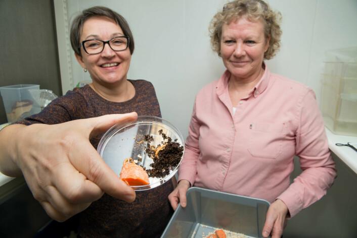 May-Guri Sæthre og Karin Westrum driv oppdrett av mjølbiller på laboratoriet hos NIBIO. (Foto: Erling Fløistad)