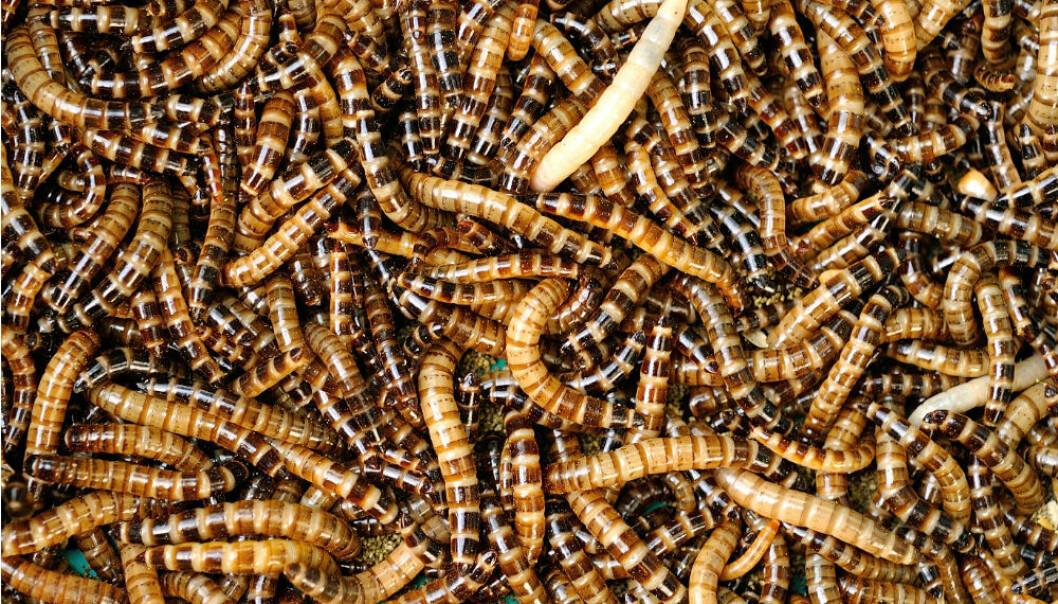 Insekt skal gjere avfall om til dyrefôr