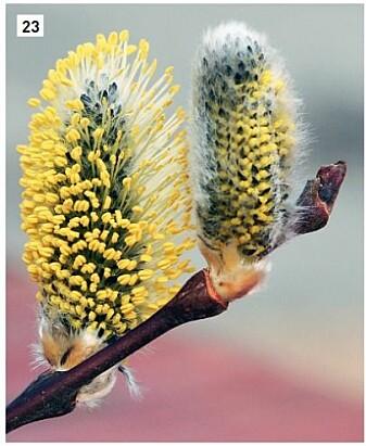Selje er kanskje den mest kjente arten i slekta <i>Salix</i>. Blomsterknoppene spretter tidlig om våren og vi kaller de gjerne gåseunger eller kattlabber. Dette bilde er av den vanligste underarten som heter skogselje. (Foto: Eli Fremstad, CC-BY 4.0).