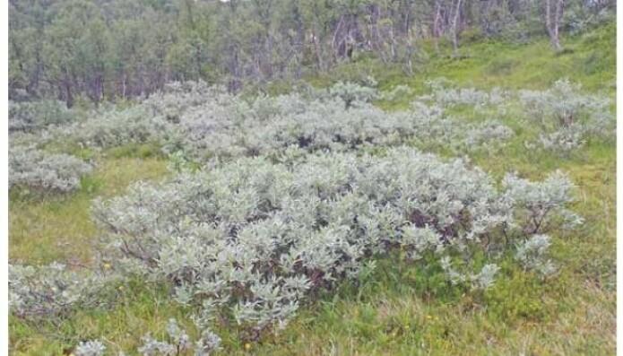 Dette er gjerne hva folk ser for seg når de hører ordet vier. Lappvieren er en av de sølvfargede artene i fjellet. Fargen kommer av masse hvite hår som den har på bladene. (Foto: Eli Fremstad, CC-BY 4.0).