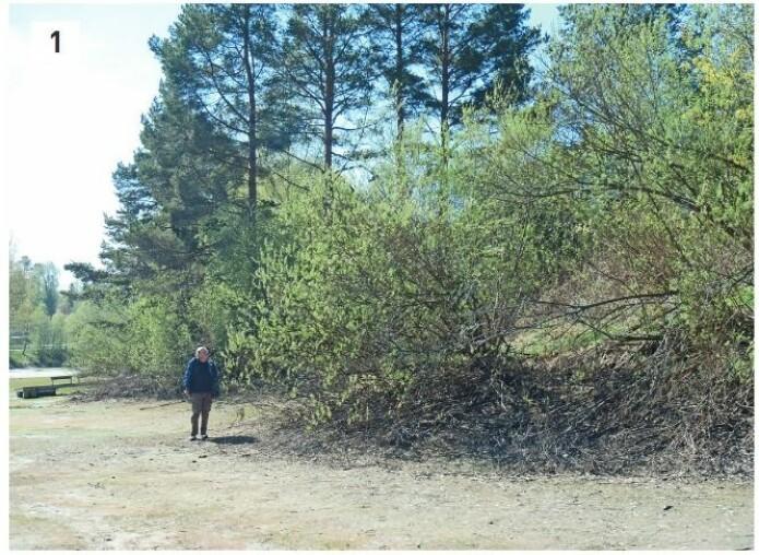 Korgpil er et eksempel på en fremmedart i slekten <i>Salix</i>. Det er klassifisert som svært høy risiko og finnes naturalisert på flommark og ved vannkanter. Den ble introdusert til Skandinavia for å gi materialer til korgfletting. Overvåkning og eventuell bekjemping av fremmedarter krever sikker bestemmelse, noe som kan være vanskelig for arter av pil og vier. (Foto: Eli Fremstad, CC-BY 4.0).