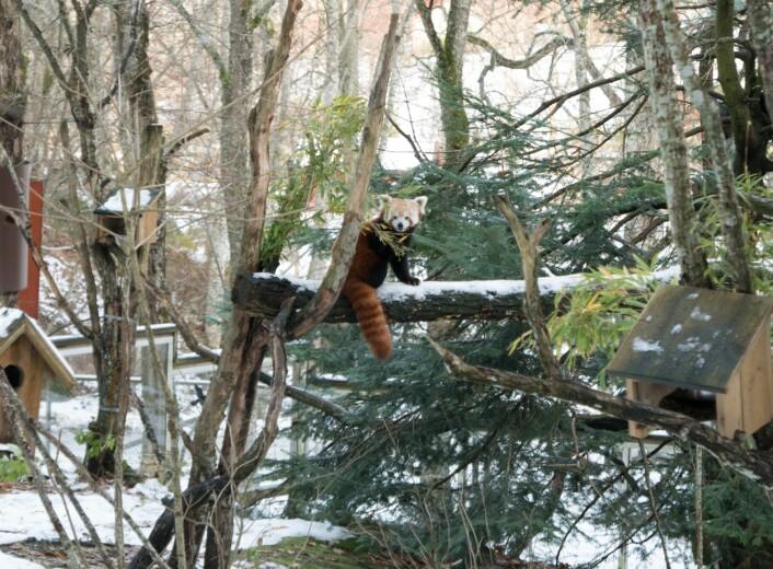 Rød panda i Nordens Ark. Foto: Rannveig M. Jacobsen