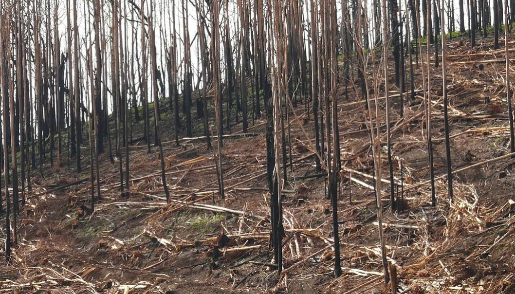 Skogen bruker lang tid på å komme seg etter brann