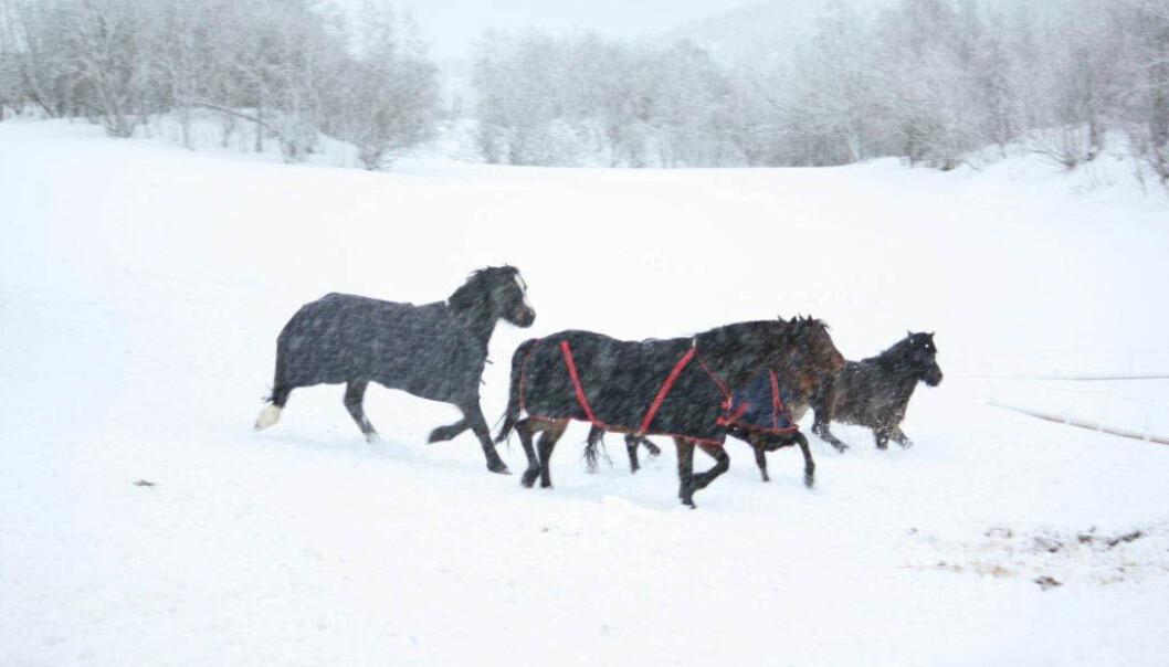 Her har hestene på seg dekken i snøværet. (Foto: Grete Jørgensen, NIBIO)