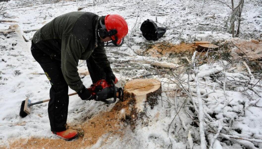 Ari Hietala er på feltarbeid og tar prøver fra råtne stubber. Begge stubbene på bildet er infiserte av rotkjuke. (Foto: NIBIO)