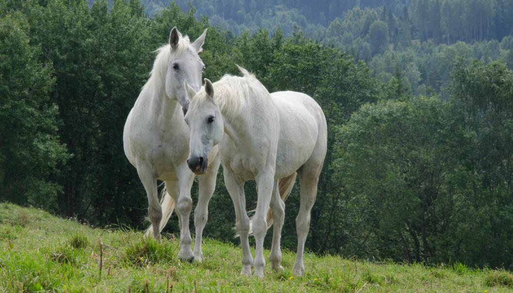 Varmblodshester kan se spinkle ut og mange tror derfor at de tåler mye mindre enn kaldblodshestene. Forskerne fant imidlertid ingen generell forskjell i valgene hestene tok, relatert til rase. (Foto: Morten Günther)