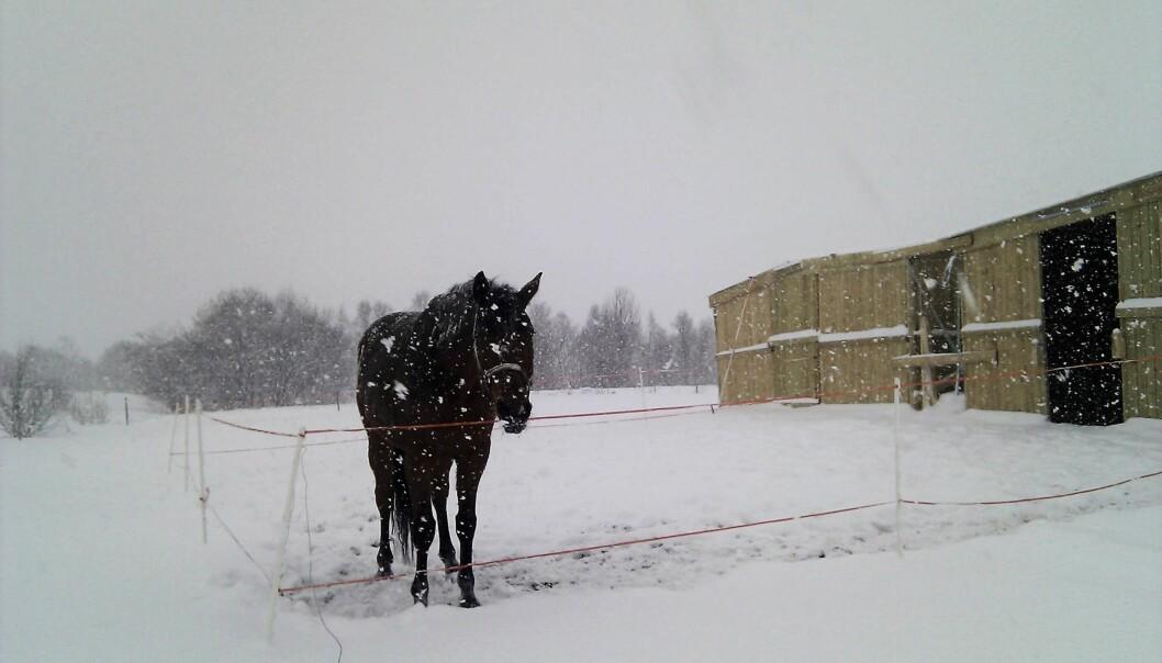 Så lenge den er tørr, isolerer pelsen til hesten godt. Også når det snør. De verste værforholdene for hesten er regn og vind. (Foto: Grete Jørgensen, NIBIO)