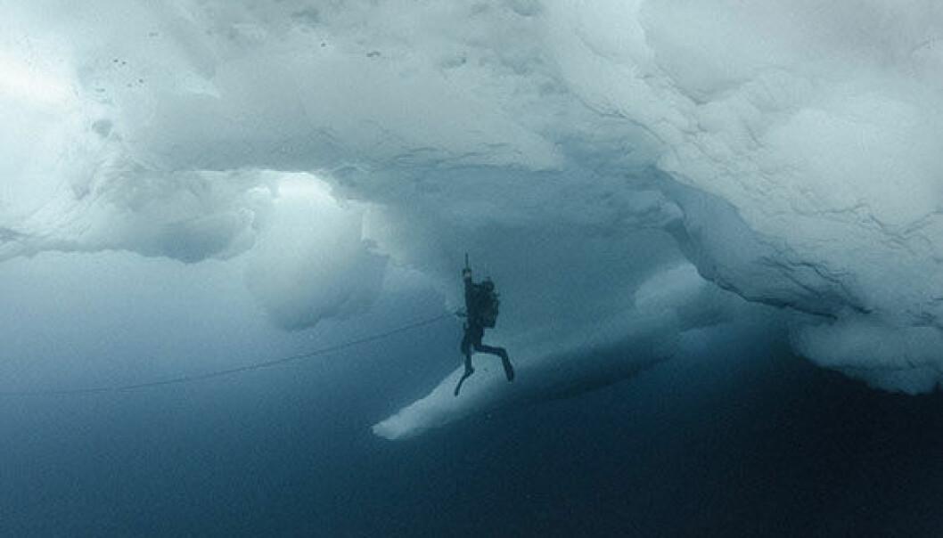 Havisen er ikke bare et levested for en myriade av dyr og alger som lever på og i isen. Den påvirker også livsforholdene for dyr og planter i havet under isen. (Foto: Peter Leopold / Norsk Polarinstitutt)