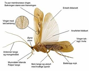 Kroppsbygnad hos ei typisk vårfluge. Dei hårete vengjene har eit forholdsvis enkelt ribbenett som i kvile ligg taklagt, folda som eit tak over bakkroppen. (Illustrasjon: Hallvard Elven, Naturhistorisk museum, Universitetet i Oslo. CC BY 3.0)