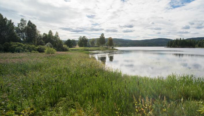 I vegetasjonen langs kanten av sjøar er det ofte mykje vårfluger å finne. Her ved Bogstadvatnet i Oslo lever det mange ulike artar, til dømes <i>Athripsodes commutatus, Mystacides longicornis</i> og <i>Oxyethira flavicornis</i>.(Foto: Hallvard Elven, Naturhistorisk museum, Universitetet i Oslo. CC BY 4.0)
