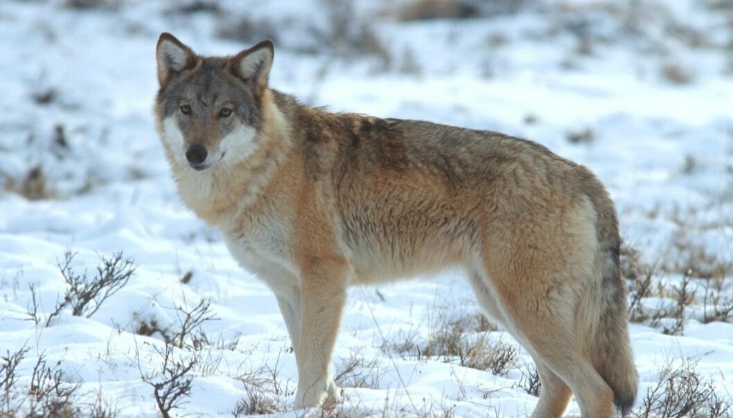 - Om vi har ulv i Norge eller ikke, handler i liten grad om ulvens overlevelse som art. Men det kan være avgjørende viktig for hvordan norsk natur blir seende ut, skriver kronikkforfatteren. (Foto: Baard Næss / NN / Samfoto / NTB scanpix)