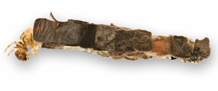 Larvene til <i>Lepidostoma hirtum</i> byggjer hus av plantemateriale, men nokre få sandkorn kan av og til vera blanda inn. (Foto: Hallvard Elven, Naturhistorisk museum, Universitetet i Oslo. CC BY 4.0)