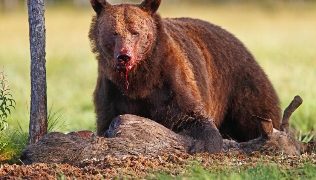 Når bjørnen våkner i mars er den skrubbsulten. Da lever elgkalver et farlig liv.  (Foto:  Tom Schandy / NN / NTB scanpix)