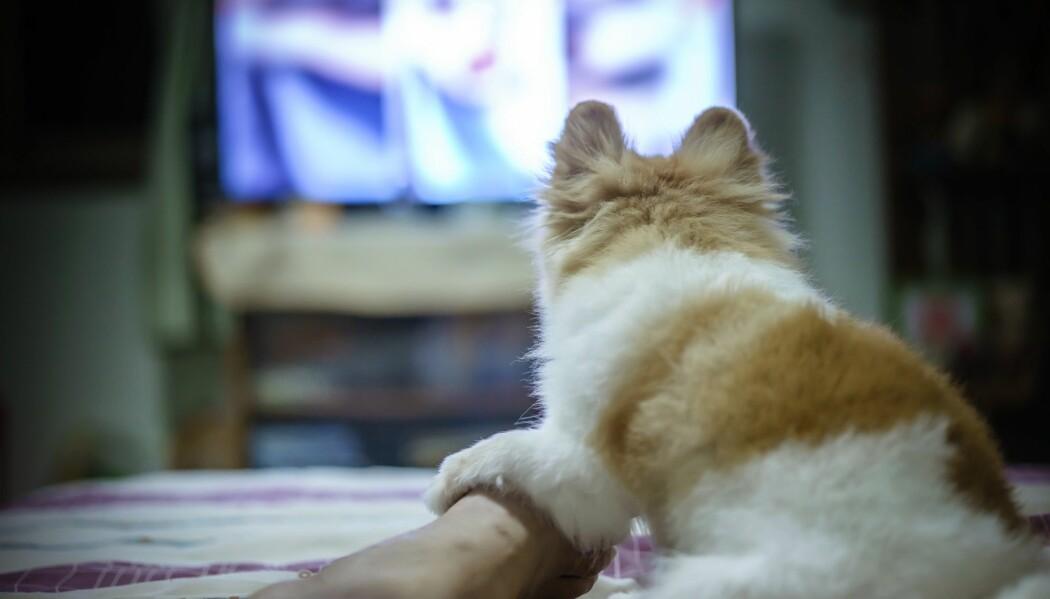 En liten pomeranian-hund ser på skrekkfilm. (Foto: Shutterstock / NTB scanpix)