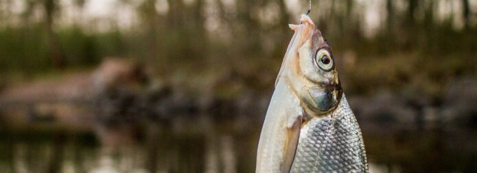 Kan fisk føle smerte?