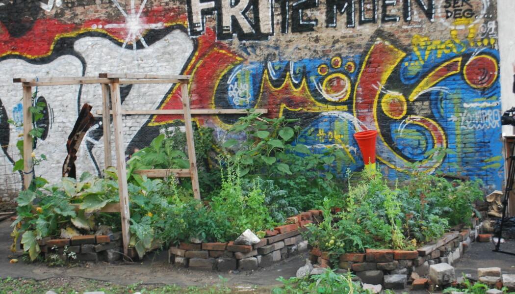 Urbant landbruk har blitt en arena hvor folk møtes, uavhengig av sosialt lag eller etnisitet, ifølge forsker. Bildet er hentet fra en urban bakhage ved Hausmania i Oslo. (Foto: Marte Dæhlen)