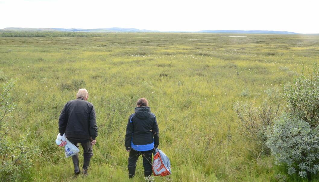 Starren kan dekke enorme områder, og er spesielt vanlig i arktiske fjellområder og våtmark. Dette er fra Færdesmyra, et enormt våtmarksområde i Sør-Varanger kommune i Finnmark, nær grensa til Finland.  (Foto: Charlotte Sletten Bjorå)