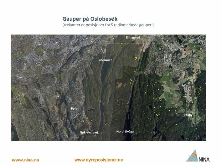 Alle gauper vi har fulgt i Østmarka tar seg av og til et Oslobesøk (Foto: www.dyreposisjoner.no)