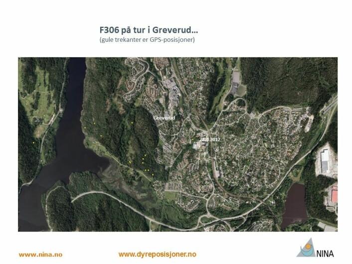 Hunngaupa F306 tok turen tvers gjennom Greverud ei natt i 2012 (Foto: www.dyreposisjoner.no)