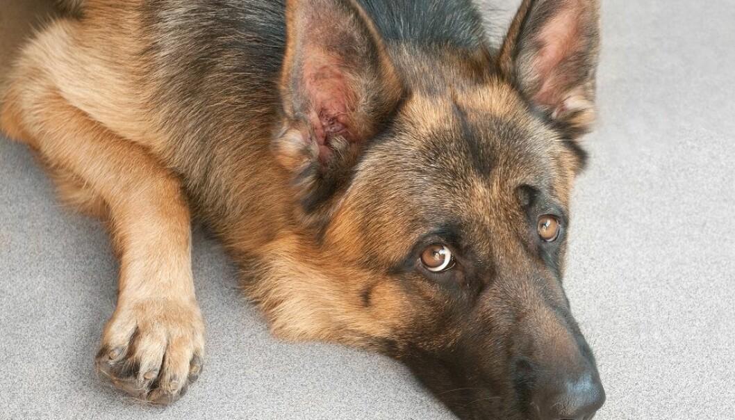 Mangelen på forskning på hvordan det påvirker hunder å være alene, fører til mange ulike meninger i hundemiljøene, og gir grobunn for forumdiskusjoner på nettet. (Foto: Colourbox)